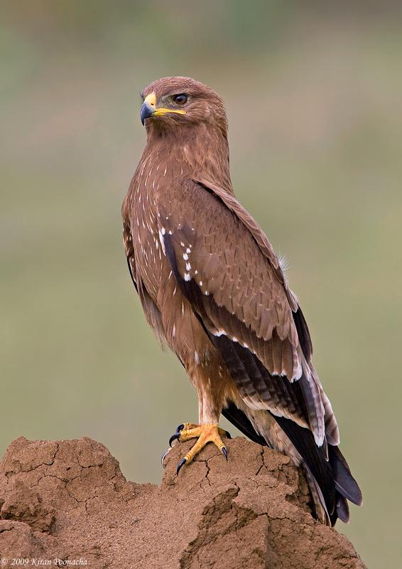 Spreebird wildlife: EAGLES OF PAKISTAN