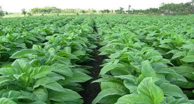 Hasil gambar untuk Penyakit tanaman Tembakau