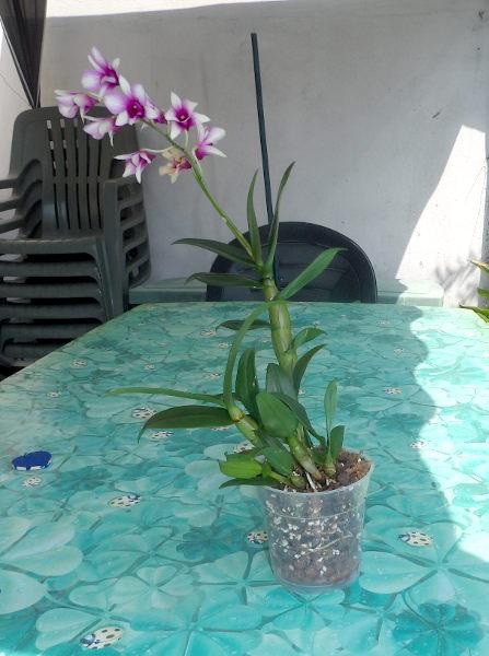 "Dendrobium Phalaepnosis ""Polar Fire"" Dendro01_rempotage_13_07_18_06"