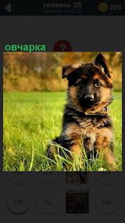 В траве летом сидит собака породы овчарка, щенок в ошейнике