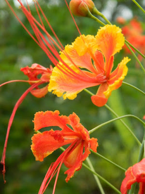 Dwarf Poinciana Caesalpinia pulcherrima at Orchid World Barbados by garden muses-not another Toronto gardening blog