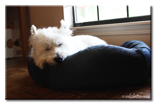Westie sleeping in a BeCo bed
