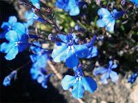Mavi renkli lobelya çiçekleri
