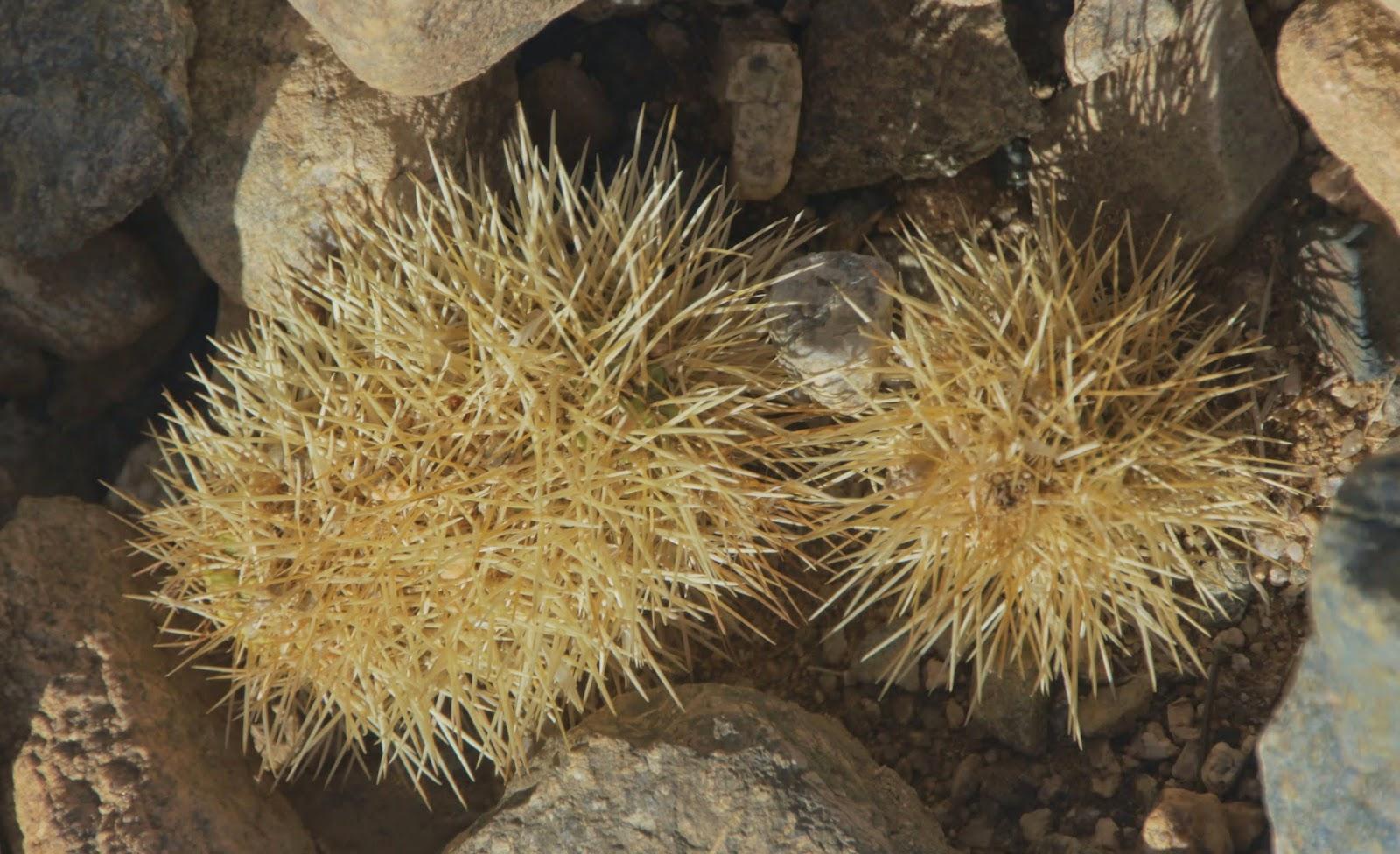 Evil Tribbles - Joshua Tree National Park