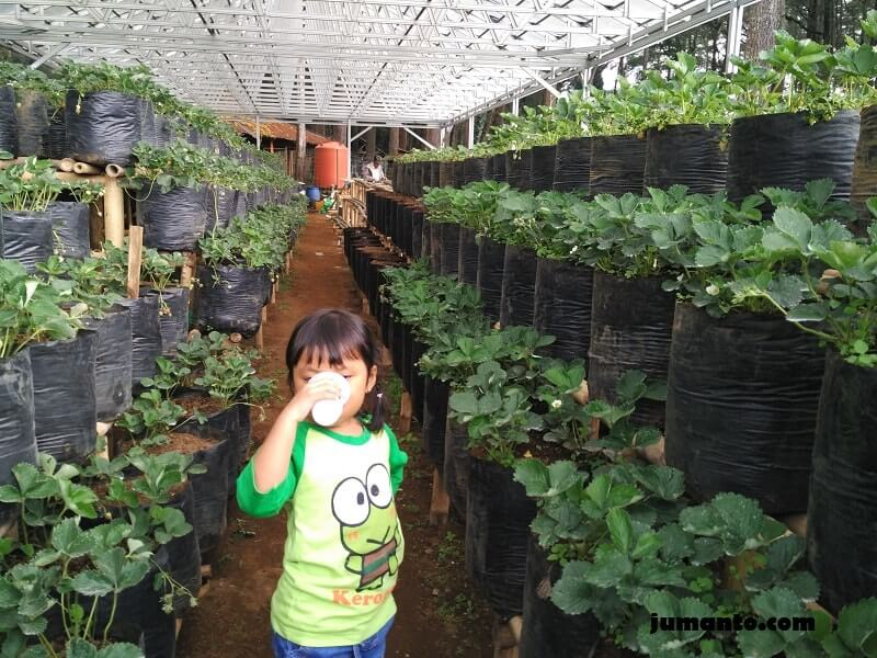kebun strawberry grafika cikole