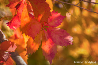 Cramer Imaging's professional quality nature photograph of red sunlit autumn or fall Virginia Creeper leaves in Pocatello, Bannock, Idaho