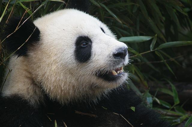 Chengdu research Base, Gaint Pand Breeding, Places to see in Chengdu, Buddha Statue, Buddha Template, China, Chengdu,