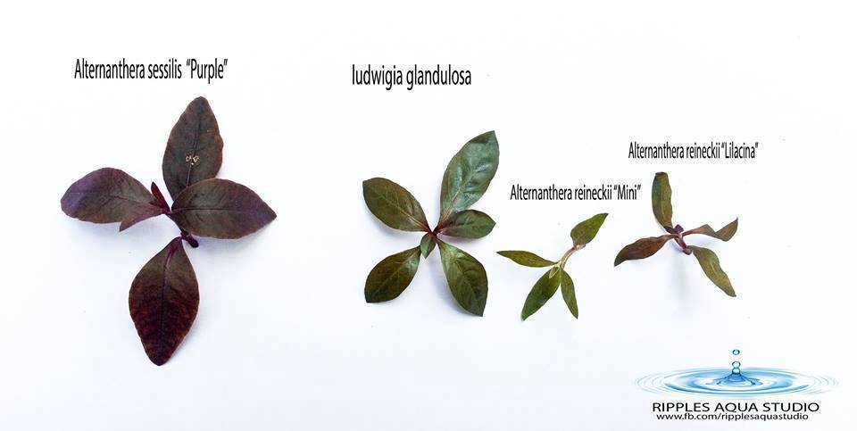 Alternanthera sessilis purple ludwigia glandulosa Alternanthera reineckii mini Alternanthera reineckii lilacina