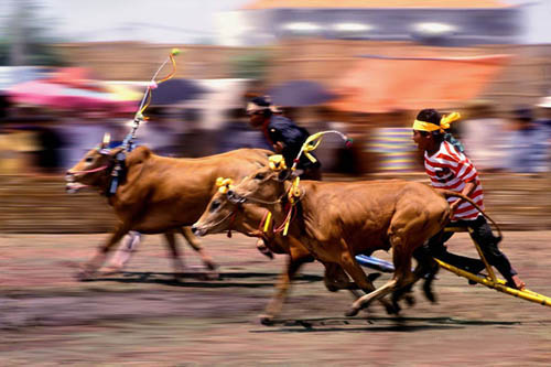 The bulls, the jockey, and the coordination, are important to this race