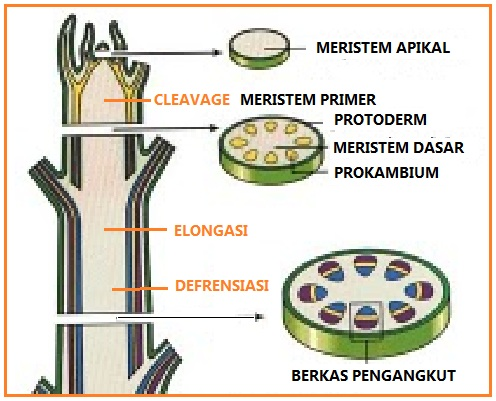 Biologi Gonzaga Jaringan Tumbuhan