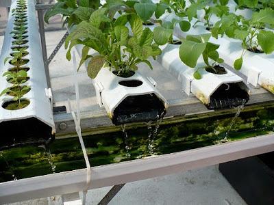 cara mengatasi lumut pada tanaman hidroponik