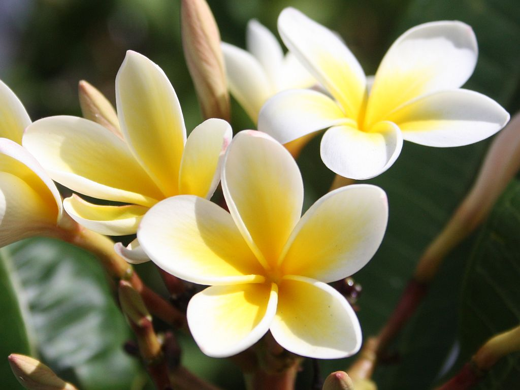 Romantic Flowers: Plumeria Flower