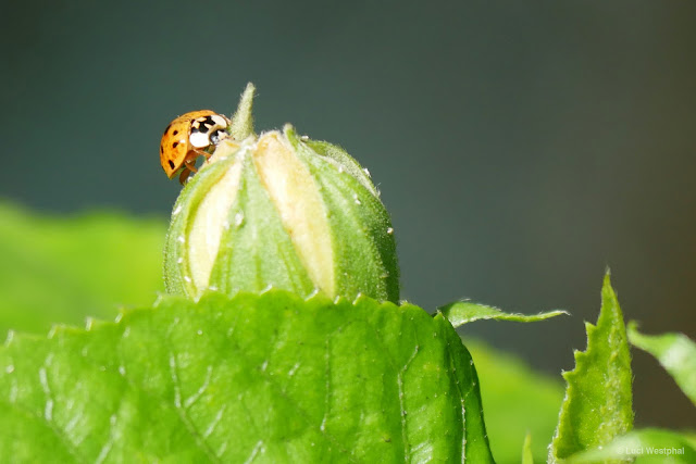 Ladybug feasting on aphids.