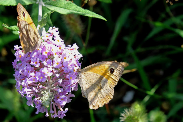 Buy artwork of Meadow Brown Butterfly