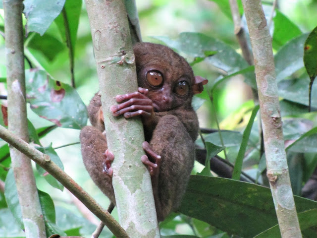 tarsier monkey loboc bohol philippines