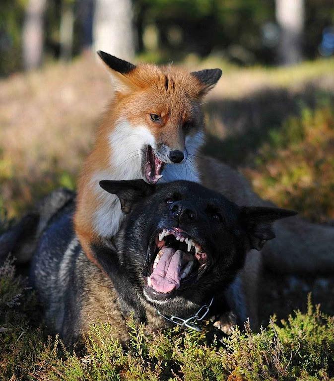A raposa e o lobo