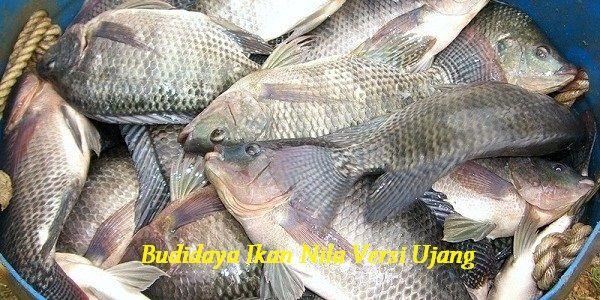 Gambar Budidaya Ikan Nila Versi Ujang