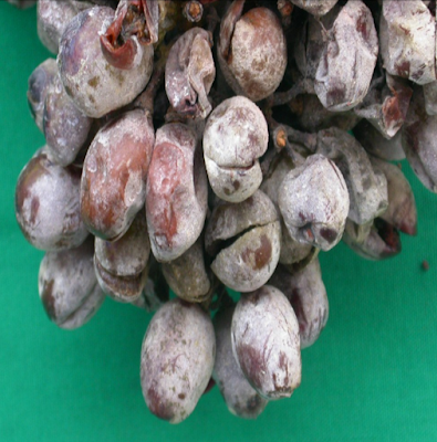 Pecah BUah red Prince (Bs 89)
