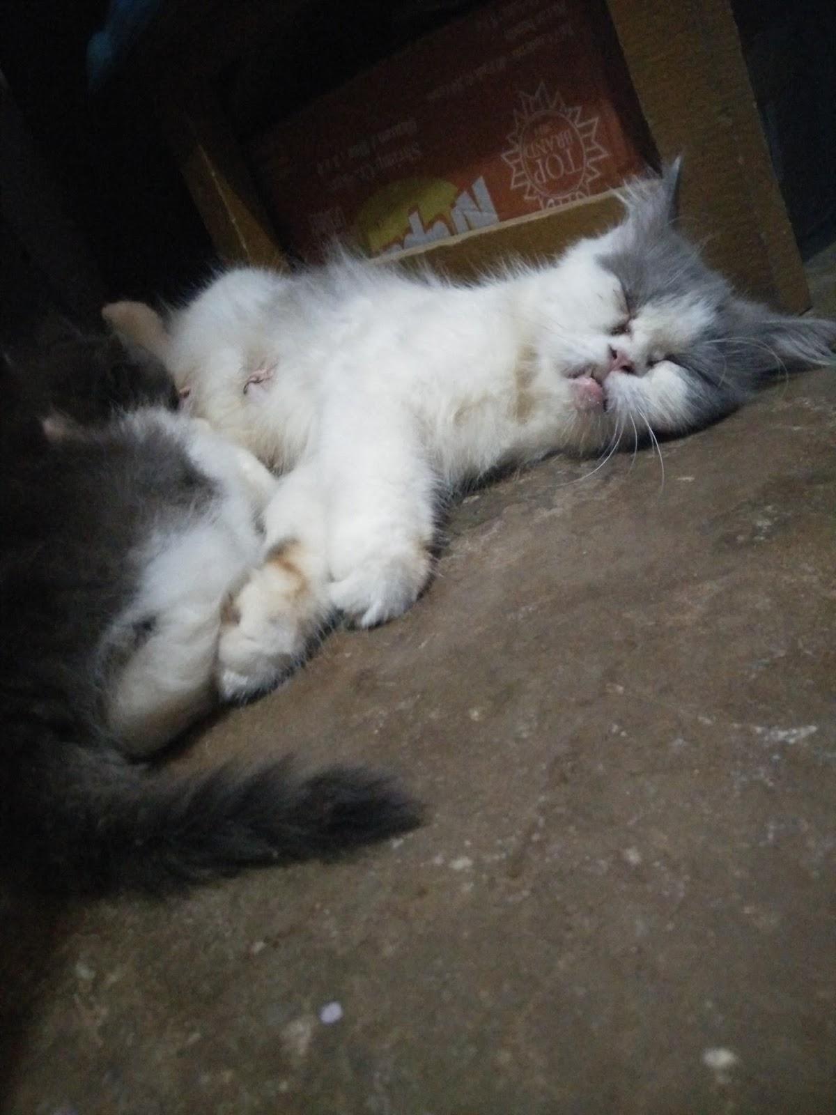 Download 93+  Gambar Kucing Persia Betina Paling Imut