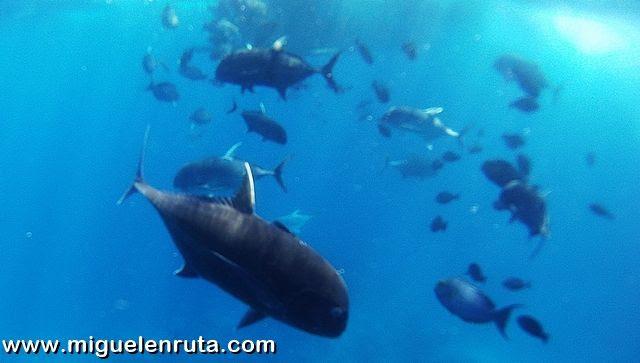 Giant-Travelly-Nusa-Penida