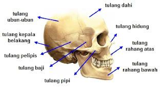 Tulang tengkorak manusia yang mempunyai bagian penting untuk menopang otak