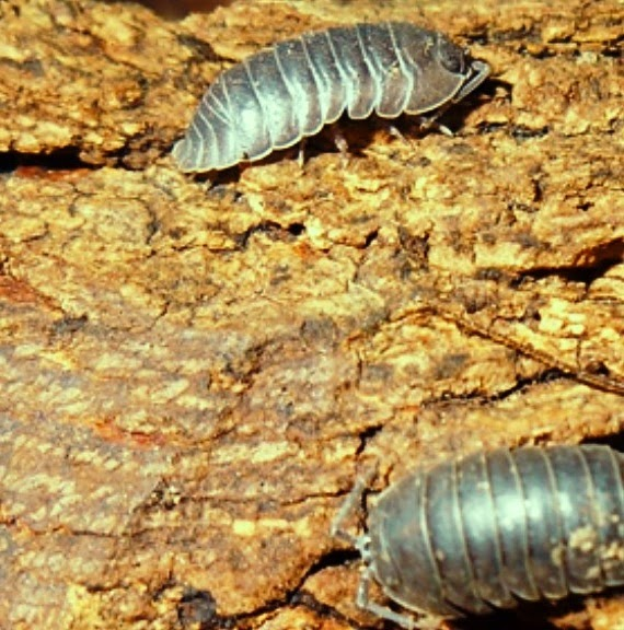 Isopods in old timber pile