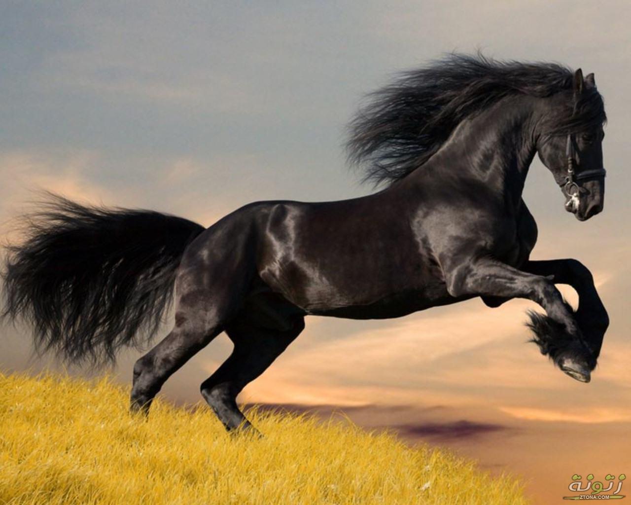 حصان عربي اجمل خيل عربى اصيل كيوت 1
