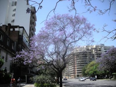 jacaranda in flower, Buenos Aires