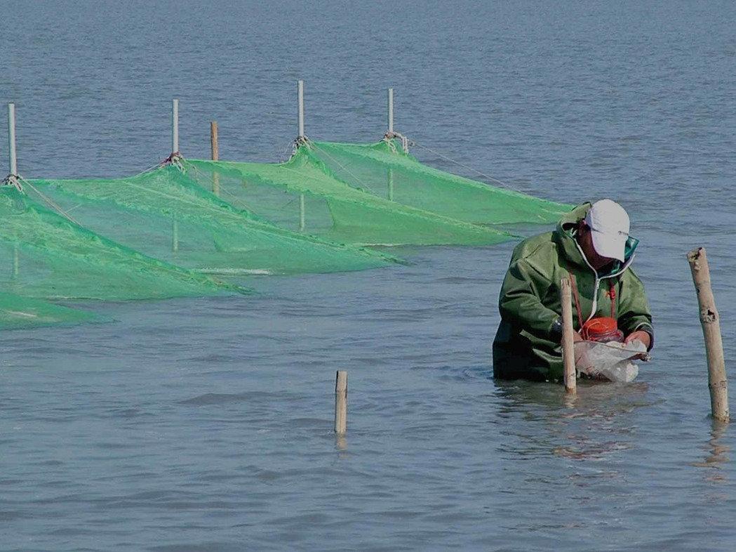 口湖鰻魚故鄉-第一鰻波與鰻魚產業,2017鰻苗大豐收,明年將有便宜的鰻魚可享用了!