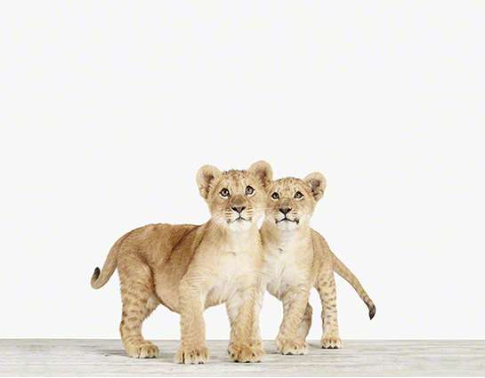 Baby lion prints