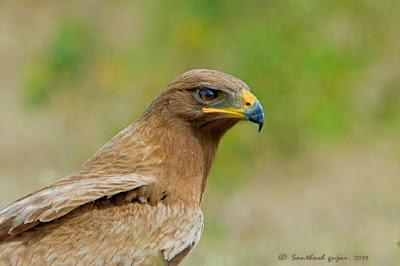 Jual Elang Tutul India (Indian Spotted Eagle - Clanga hastata),  Harga Elang Tutul India (Indian Spotted Eagle - Clanga hastata),  Toko Elang Tutul India (Indian Spotted Eagle - Clanga hastata),  Diskon Elang Tutul India (Indian Spotted Eagle - Clanga hastata),  Beli Elang Tutul India (Indian Spotted Eagle - Clanga hastata),  Review Elang Tutul India (Indian Spotted Eagle - Clanga hastata),  Promo Elang Tutul India (Indian Spotted Eagle - Clanga hastata),  Spesifikasi Elang Tutul India (Indian Spotted Eagle - Clanga hastata),  Elang Tutul India (Indian Spotted Eagle - Clanga hastata) Murah,  Elang Tutul India (Indian Spotted Eagle - Clanga hastata) Asli,  Elang Tutul India (Indian Spotted Eagle - Clanga hastata) Original,  Elang Tutul India (Indian Spotted Eagle - Clanga hastata) Jakarta,  Jenis Elang Tutul India (Indian Spotted Eagle - Clanga hastata),  Budidaya Elang Tutul India (Indian Spotted Eagle - Clanga hastata),  Peternak Elang Tutul India (Indian Spotted Eagle - Clanga hastata),  Cara Merawat Elang Tutul India (Indian Spotted Eagle - Clanga hastata),  Tips Merawat Elang Tutul India (Indian Spotted Eagle - Clanga hastata),  Bagaimana cara merawat Elang Tutul India (Indian Spotted Eagle - Clanga hastata),  Bagaimana mengobati Elang Tutul India (Indian Spotted Eagle - Clanga hastata),  Ciri-Ciri Hamil Elang Tutul India (Indian Spotted Eagle - Clanga hastata),  Kandang Elang Tutul India (Indian Spotted Eagle - Clanga hastata),  Ternak Elang Tutul India (Indian Spotted Eagle - Clanga hastata),  Makanan Elang Tutul India (Indian Spotted Eagle - Clanga hastata),  Elang Tutul India (Indian Spotted Eagle - Clanga hastata) Termahal,  Adopsi Elang Tutul India (Indian Spotted Eagle - Clanga hastata),  Jual Cepat Elang Tutul India (Indian Spotted Eagle - Clanga hastata),  Kreatif Elang Tutul India (Indian Spotted Eagle - Clanga hastata),  Desain Elang Tutul India (Indian Spotted Eagle - Clanga hastata),  Order Elang Tutul India (Indian Spotted Eagle - Clanga hastata),  Kado Elang Tutul India (Indian Spotted Eagle - Clanga hastata),  Cara Buat Elang Tutul India (Indian Spotted Eagle - Clanga hastata),  Pesan Elang Tutul India (Indian Spotted Eagle - Clanga hastata),  Wisuda Elang Tutul India (Indian Spotted Eagle - Clanga hastata),  Ultah Elang Tutul India (Indian Spotted Eagle - Clanga hastata),  Nikah Elang Tutul India (Indian Spotted Eagle - Clanga hastata),  Wedding Elang Tutul India (Indian Spotted Eagle - Clanga hastata),  Flanel Elang Tutul India (Indian Spotted Eagle - Clanga hastata),  Special Elang Tutul India (Indian Spotted Eagle - Clanga hastata),  Suprise Elang Tutul India (Indian Spotted Eagle - Clanga hastata),  Anniversary Elang Tutul India (Indian Spotted Eagle - Clanga hastata),  Moment Elang Tutul India (Indian Spotted Eagle - Clanga hastata),  Istimewa  Elang Tutul India (Indian Spotted Eagle - Clanga hastata),  Kasih Sayang  Elang Tutul India (Indian Spotted Eagle - Clanga hastata),  Valentine  Elang Tutul India (Indian Spotted Eagle - Clanga hastata),  Tersayang Elang Tutul India (Indian Spotted Eagle - Clanga hastata),  Unik Elang Tutul India (Indian Spotted Eagle - Clanga hastata),