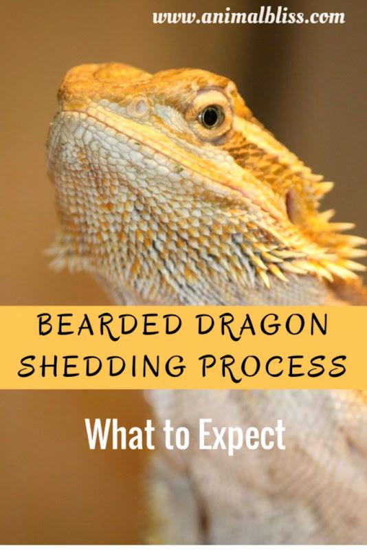 Newborn Bearded Dragon | Net Wallpapers