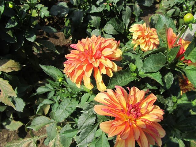 Dalia Decorativa Arancione