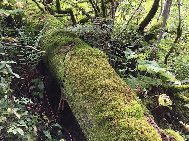 Baumstamm von Moos überwuchert