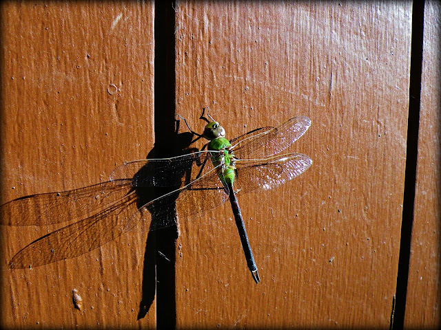 Frozen Dragonfly