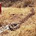 MEIO AMBIENTE / Jibóia da espécie Boa constrictor imperator é encontrada no município de Mairi