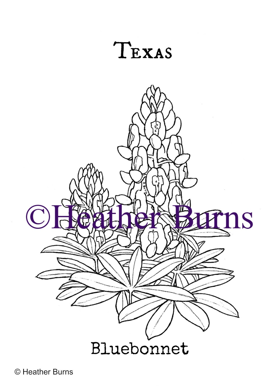 State Flower Coloring Book: Texas State Flower: Bluebonnet