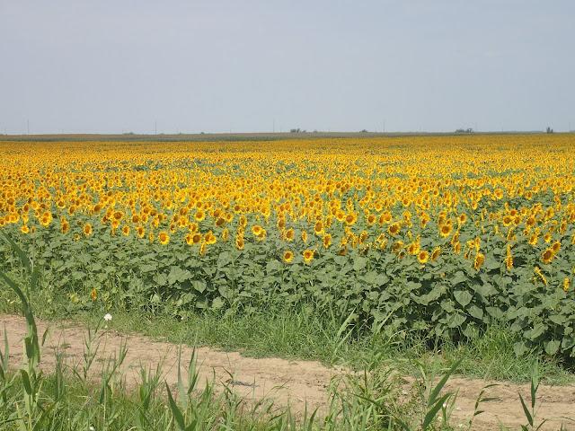 To Ukraina czy Rumunia? Bezkresne pola słoneczników