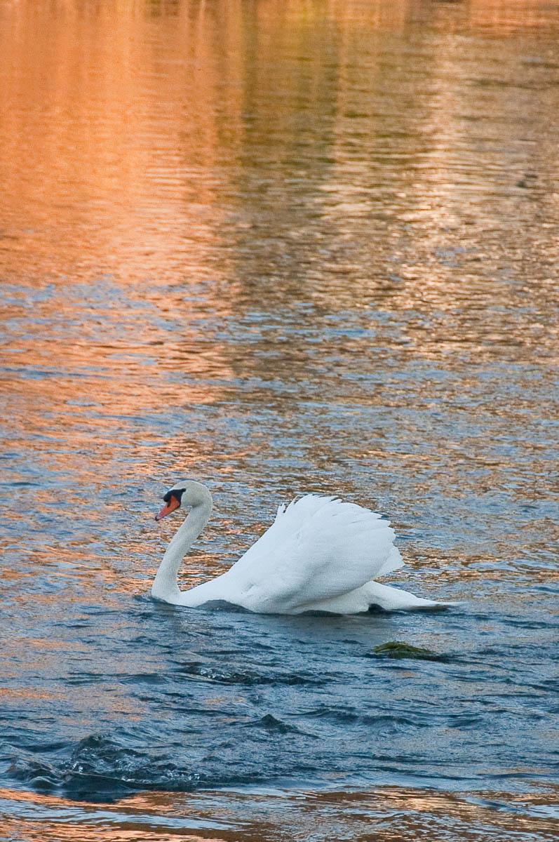 Swan on the river Mincio, Borghetto, Veneto, Italy