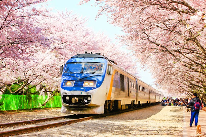 Kat Mana Nak Hunting Sakura di Jeju Korea Selatan