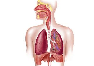 Organ-organ Penting dalam Sistem Pernapasan Manusia