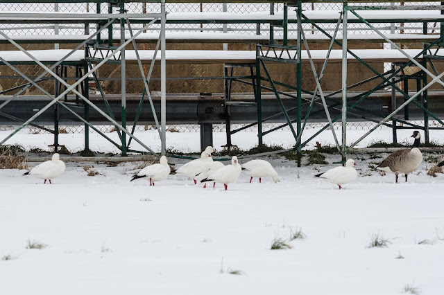 Ross's Geese in Snow