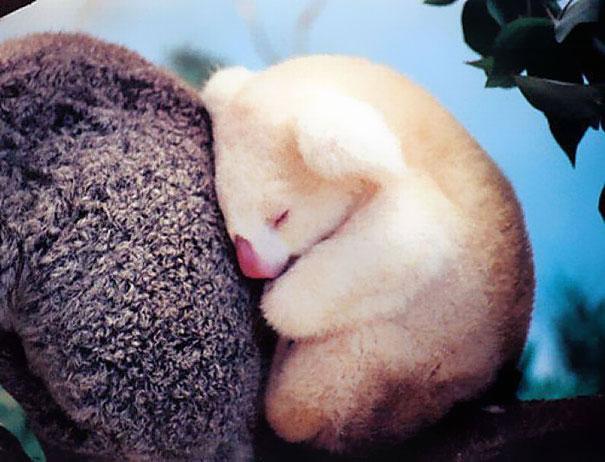 Green Pear Diaries, animales bebé, crías, tiernos, koala