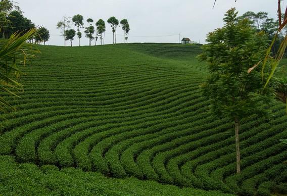 keindahan wisata kebun teh cikuya di cibeber lebak banten