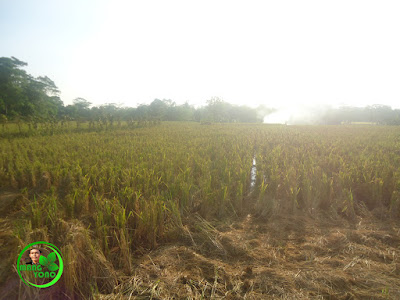 Manfaat Jerami Padi Untuk Kesuburan Tanah