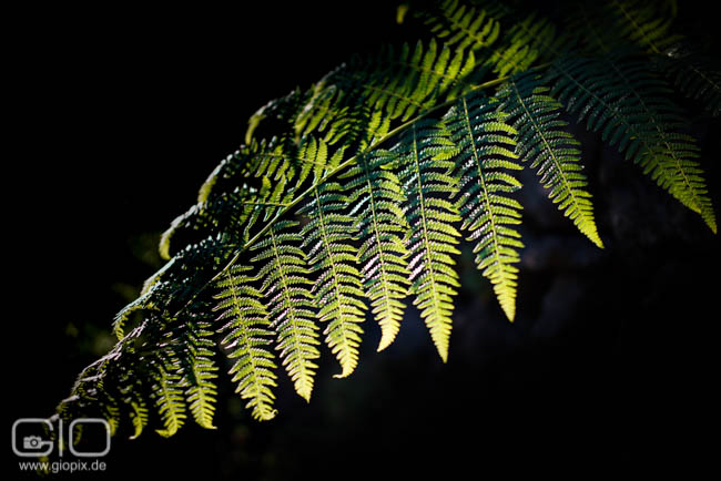 Photo: Shining Fern