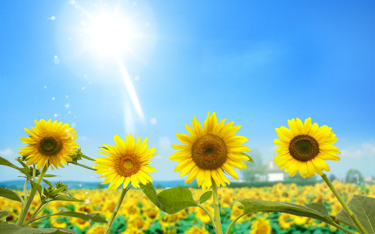 wallpaper: Sunflowers Desktop Wallpapers