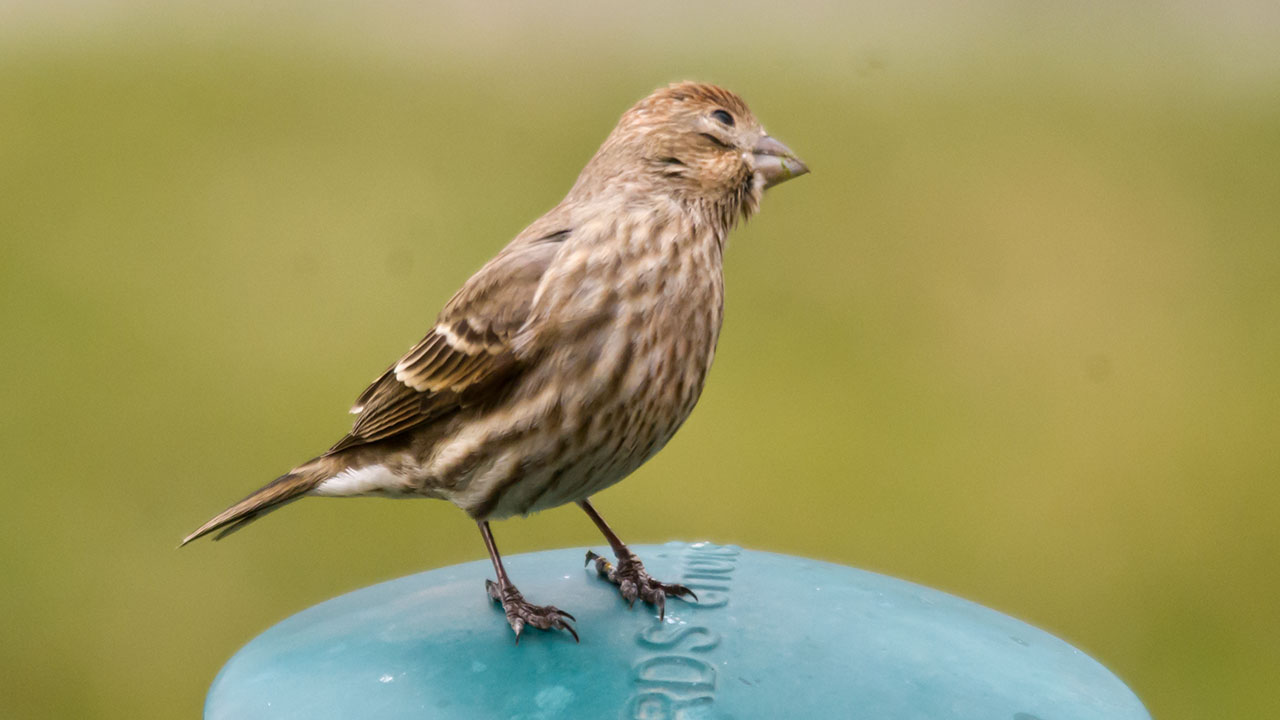 House Finch: Sound Of House Finch