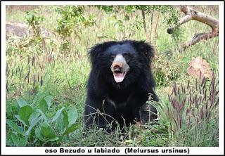 oso Bezudo u labiado  (Melursus ursinus)