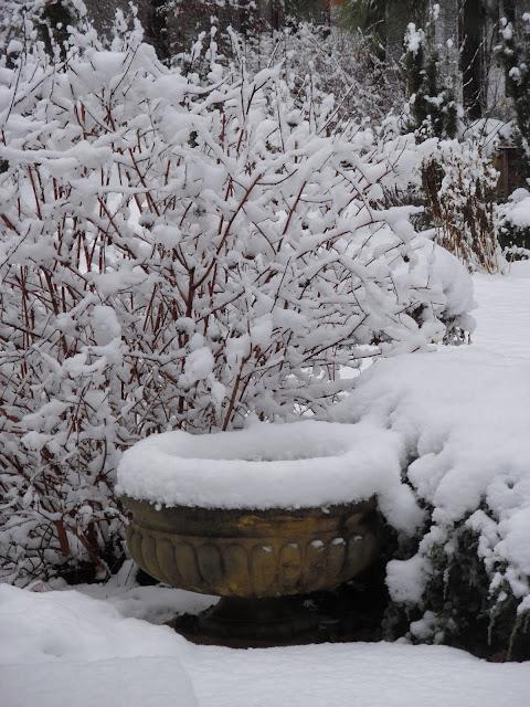 zaśnieżony ogród